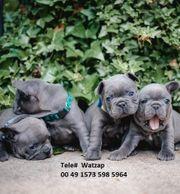 Haus aufgezogene französische Bulldoggenwelpen