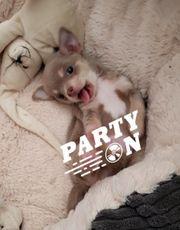 Chihuahua Welpen Rüden aus geprüfter