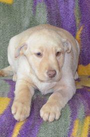 noch 1 reinrassiger Labradorwelpe