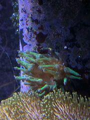 Korallen Anemone - Grüne Crassa Anemone