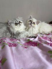 BLH Perser Katzen