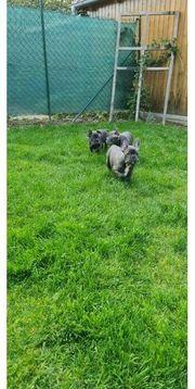 Französische Bulldoggen Welpen suchen jetzt