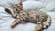 Savannah Bengal kitten