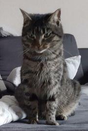 Getigerte Katze entlaufen vermisst am