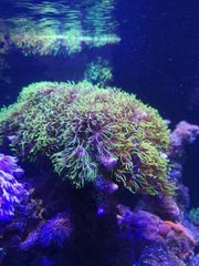 Affenhaar Koralle Meerwasser Ableger