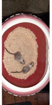 2 Wüstenrennmäuse Jungtiere Maus Gerbil