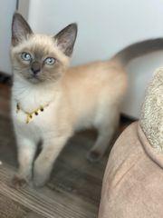 Siam Katze weiblich Blue-Point Zubehör