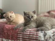 Scottish fold kitten reinrassig Kätzchen