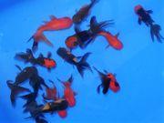 Schleierschwanz rot schwarz ca 4 -