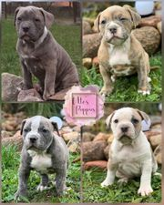 Old English Bulldog Welpen