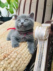 BKH Kitten reinrassig Mädchen