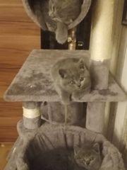 3 Süße Reinrassiege Kätzchen sucht