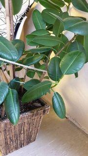 Ficus Blumen