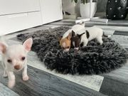 typvolle Chihuahua Welpen