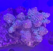 Meerwasser Acropora Tenuis Rainbow