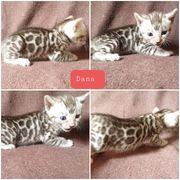 Atemberaubende Bengal Kitten