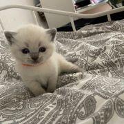 BKH Blue Point Kitten