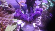 Korallen Ableger Meerwasser Aquarium