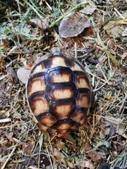 Testudo Marginata Breitrandschildkröte