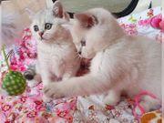 Wunderschöne BKH Kittens geboren