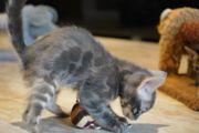 Bengal Kitten Kater blue charcoal