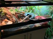 Leopardgecko Zuchtgruppe