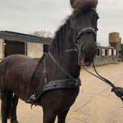 Pferde 7 Jahre alt 170