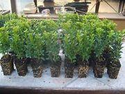 Buchsbaum 100 Stück Heckenpflanzen Buxus