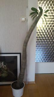 Palme - Madagaskarpalme 140 cm
