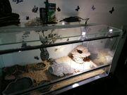 Grische Landschildkröten mit Terrarium und