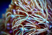 Meerwasser Ableger zu verkaufen