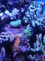 Meerwasser SPS LPS Korallen Anemonen
