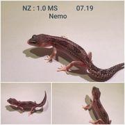 Leopardgeckos NZ von 2019