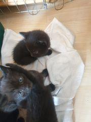 EKH Mix Kitten