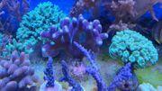 Korallenableger Steinkorallen und Weichkorallen