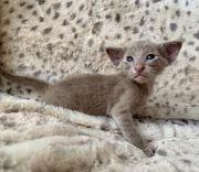 OKH Orientalische Katzenbaby