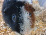Teddy Meerschweinchen Zucht Böckchen 1