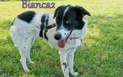 Griechischer Hirtenhund Bianca