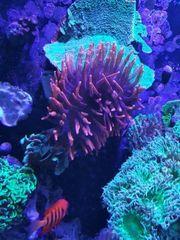 Korallen Meerwasser Kupferanemone Sinularia Keniabäumchen