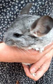 Chinchilla 2 Weibchen
