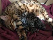 Wunderschöne Bengal Kitten können jetzt