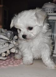 süßer Mini Malteser