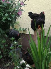 2 Hähne - BLACK ORPINGTON - zu