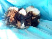 peruaner Meerschweinchen Baby männlich