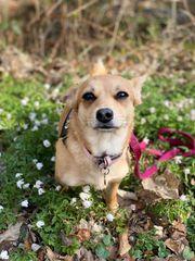 Suche eine Freundin Labrador Hündin