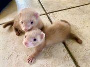 Siam Zimt farbene Frettchen Babys