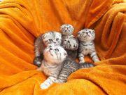 BKH Kitten in silver Tabby