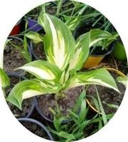 Biete Funkien Hosta getopft Pflanzen