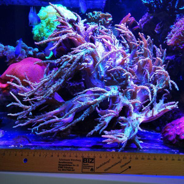 Korallen Korallenableger Sinularia sp 2
