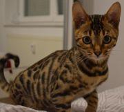 Bengal Katze